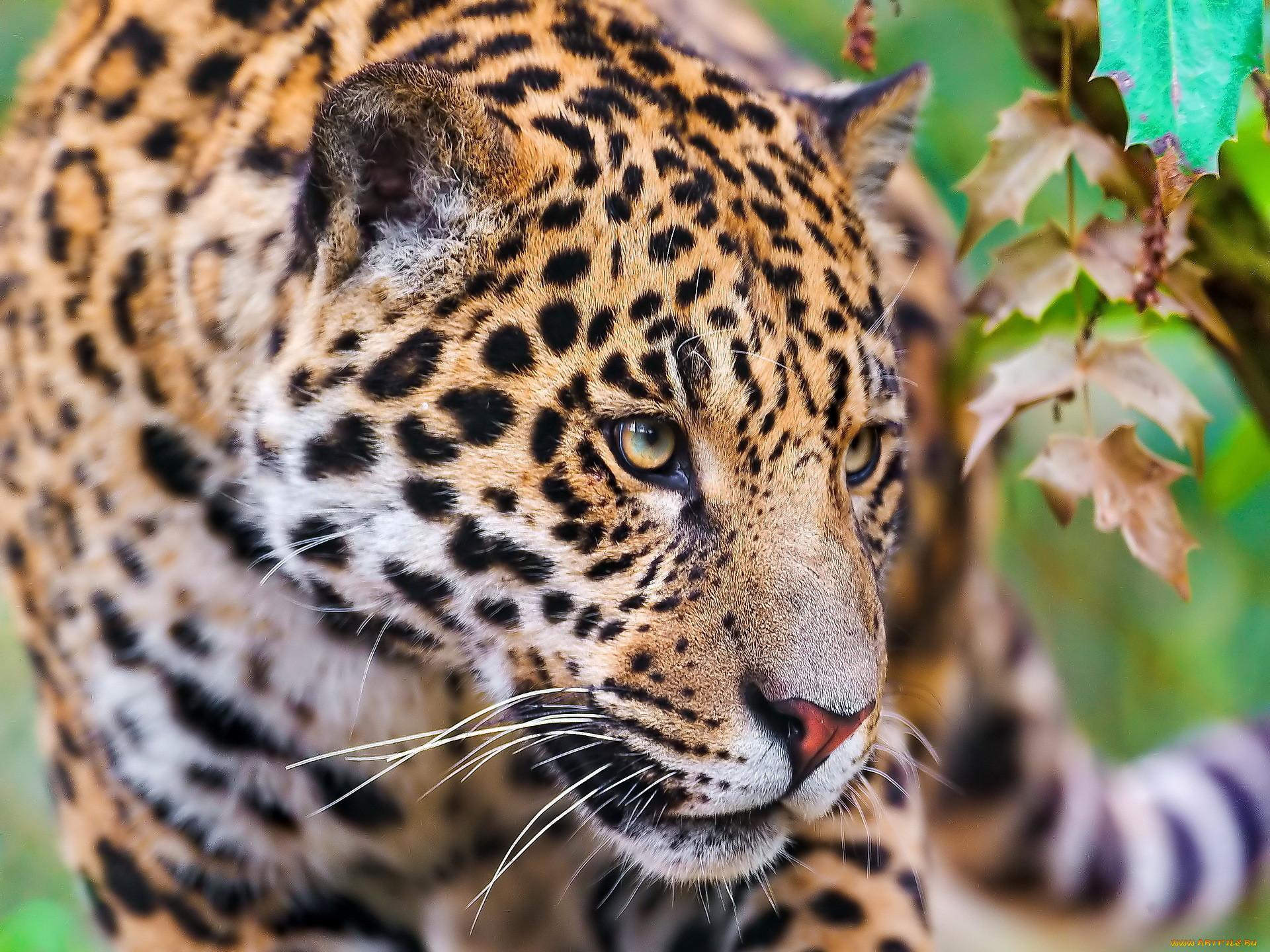 растений леопард картинки животного грамотно привлечь себе